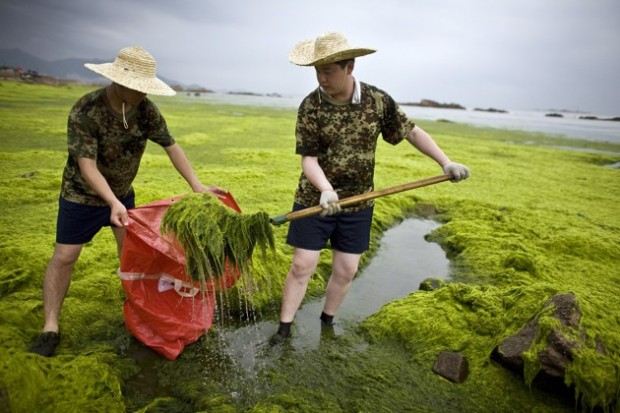 Soldiers of the People's Liberation Army (PLA) clear algae from the coastline of Qingdao, Shandong province July 4, 2008. China has thrown 10,000 people and 1,200 vessels into the fight to clean up a huge algae bloom that has turned large swathes of Qingdao's offshore waters green and encroached on a third of Olympic sailing waters. REUTERS/Nir Elias (CHINA) (BEIJING OLYMPICS 2008 PREVIEW) - RTX7MHA