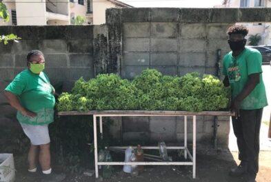 Parte da produção das hortas é doada para pessoas em vulnerabilidade social Foto: Reprodução Baía Viva